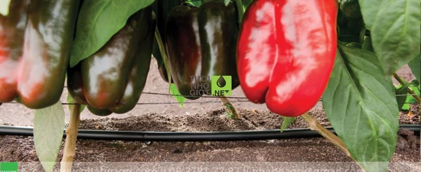 tưới nhỏ giọt cho cây ớt