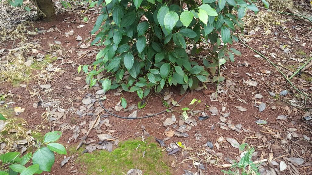tưới nhỏ giọt cho cây hồ tiêu